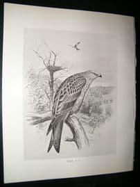 Frohawk 1898 Antique Bird Print. Kite