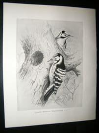 Frohawk 1898 Antique Bird Print. Lesser Spotted Woodpecker