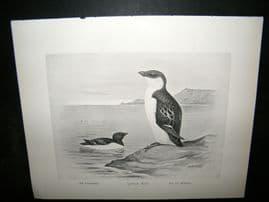Frohawk 1898 Antique Bird Print. Little Auk