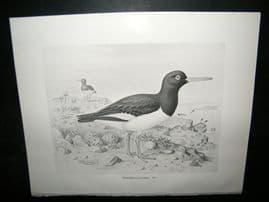 Frohawk 1898 Antique Bird Print. Oyster Catcher