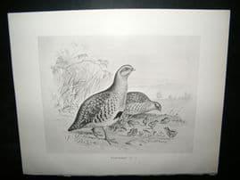Frohawk 1898 Antique Bird Print. Partridge