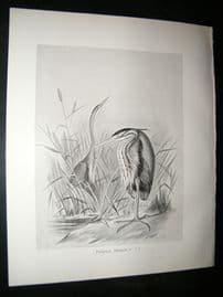 Frohawk 1898 Antique Bird Print. Purple Heron