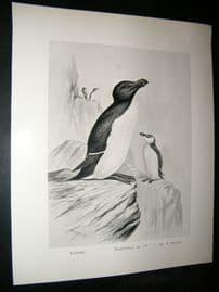 Frohawk 1898 Antique Bird Print. Razor Bill