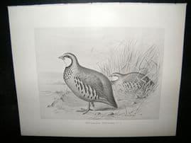 Frohawk 1898 Antique Bird Print. Red-Legged Partridge