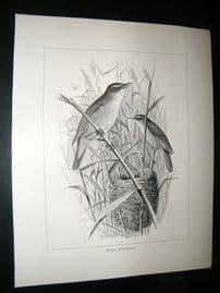 Frohawk 1898 Antique Bird Print. Red-Warbler & Nest