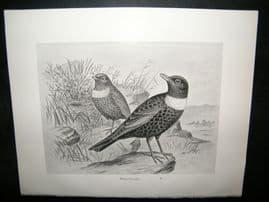 Frohawk 1898 Antique Bird Print. Ring-Ouzel