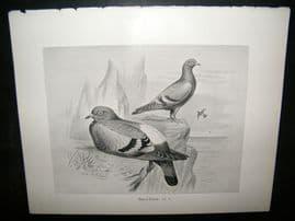 Frohawk 1898 Antique Bird Print. Rock Dove
