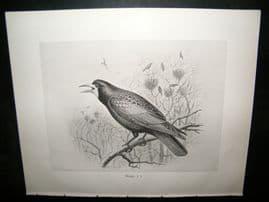 Frohawk 1898 Antique Bird Print. Rook