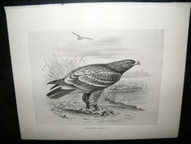 Frohawk 1898 Antique Bird Print. Spotted Eagle