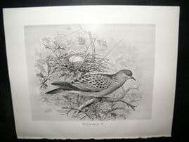 Frohawk 1898 Antique Bird Print. Turtle-Dove