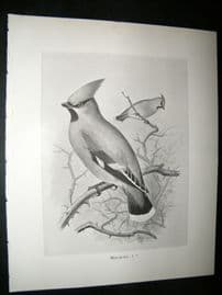 Frohawk 1898 Antique Bird Print. Waxwing