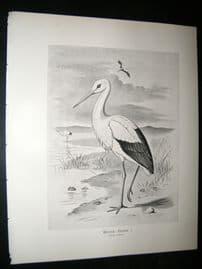 Frohawk 1898 Antique Bird Print. White Stork