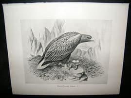Frohawk 1898 Antique Bird Print. White Tailed Eagle