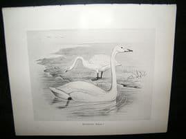 Frohawk 1898 Antique Bird Print. Whooper Swan