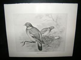Frohawk 1898 Antique Bird Print. Wood Pigeon