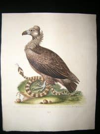 George Edwards C1750 Antique Hand Col Bird Print. Black Vulture & Indian Snake