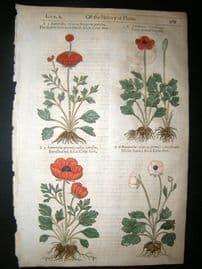 Gerards Herbal 1633 H/Col Botanical Print. Ranunculus asian crowfoot buttercups