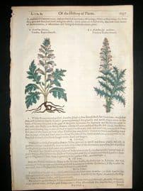 Gerards Herbal 1633 Hand Col Botanical Print. Acanthus  Bear's Breeches