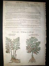 Gerards Herbal 1633 Hand Col Botanical Print. Asparagus Sperage, Lavander Cotton