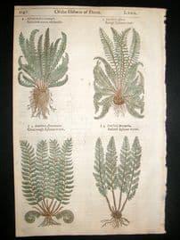 Gerards Herbal 1633 Hand Col Botanical Print. Asplenium Spleenwort Ferns