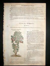Gerards Herbal 1633 Hand Col Botanical Print. Barberry Bush Fruit