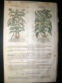 Gerards Herbal 1633 Hand Col Botanical Print. Bean Capers, Swallowwort