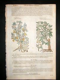 Gerards Herbal 1633 Hand Col Botanical Print. Bean Trefoil, Judas Tree