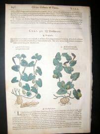Gerards Herbal 1633 Hand Col Botanical Print. Birthwort