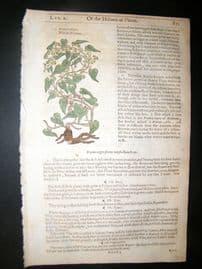 Gerards Herbal 1633 Hand Col Botanical Print. Black Bryony