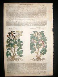 Gerards Herbal 1633 Hand Col Botanical Print. Blackeberry, Fruit