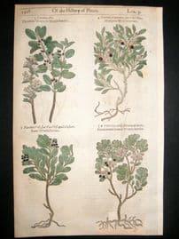 Gerards Herbal 1633 Hand Col Botanical Print. Blackwort & Redwort, Berry Fruit