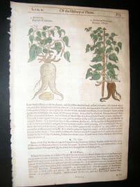 Gerards Herbal 1633 Hand Col Botanical Print. Bryony of Mexico & Peru