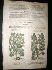 Gerards Herbal 1633 Hand Col Botanical Print. Capers