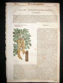 Gerards Herbal 1633 Hand Col Botanical Print. Carob Tree