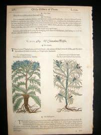 Gerards Herbal 1633 Hand Col Botanical Print. Chameleon & Carline Thistle