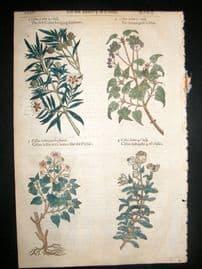 Gerards Herbal 1633 Hand Col Botanical Print. Cistus Ledon