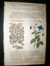 Gerards Herbal 1633 Hand Col Botanical Print. Clematis. Virgins bower