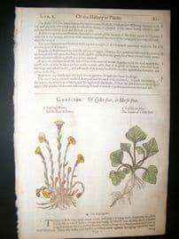 Gerards Herbal 1633 Hand Col Botanical Print. Coltsfoot