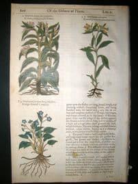 Gerards Herbal 1633 Hand Col Botanical Print. Comfrey, Hounds Tongue