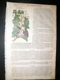 Gerards Herbal 1633 Hand Col Botanical Print. Common Grape Vine. Fruit