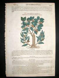 Gerards Herbal 1633 Hand Col Botanical Print. Cork Tree, Great Gall Tree