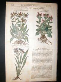 Gerards Herbal 1633 Hand Col Botanical Print. Cowslips of Jerusalem