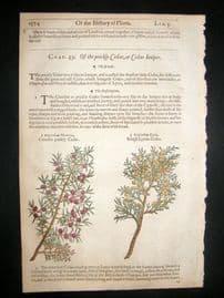 Gerards Herbal 1633 Hand Col Botanical Print. Crimson & Lycian Tree