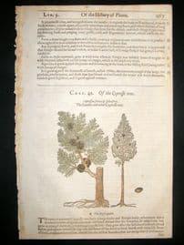 Gerards Herbal 1633 Hand Col Botanical Print. Cypress Tree