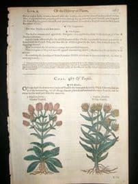Gerards Herbal 1633 Hand Col Botanical Print. Dipsacus Garden & Wild Teasel
