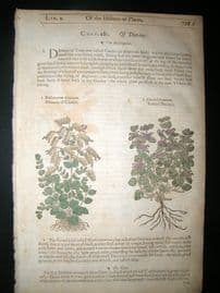 Gerards Herbal 1633 Hand Col Botanical Print. Dittany of Crete, Bastard Dittany