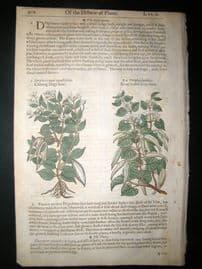 Gerards Herbal 1633 Hand Col Botanical Print. Dog's Bane, Cotton Bush