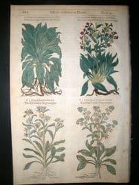 Gerards Herbal 1633 Hand Col Botanical Print. Dog's Tongue, Hound's Tongue