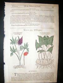 Gerards Herbal 1633 Hand Col Botanical Print. Dracontium, Dragon Plants