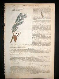 Gerards Herbal 1633 Hand Col Botanical Print. Dwarf Sea Pine Tree